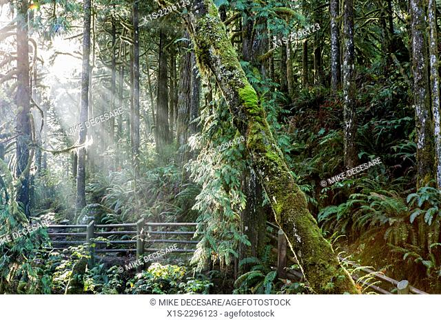 Beams of sunlight brighten moss covered trees and wood fence in a Pacific Northwest forest