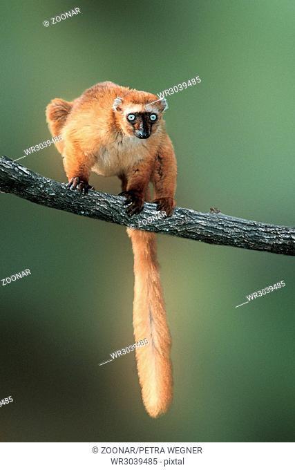 sclater's maki, blauaugenlemur, eulemur macaco flavifrons, blue-eyed black lemur, sclaters-black lemur