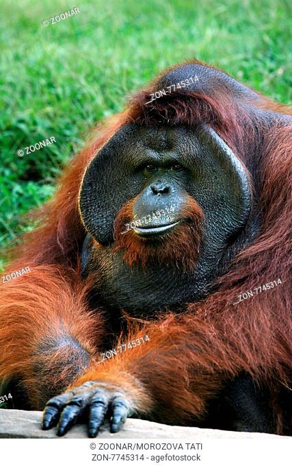 The orangutan in zoo on Bali. Indonesia
