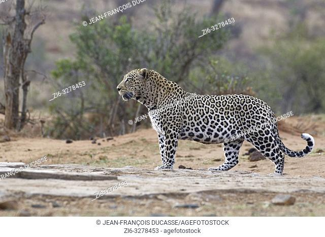 African leopard (Panthera pardus pardus), adult male at dusk, standing at a waterhole, alert, Kruger National Park, South Africa, Africa