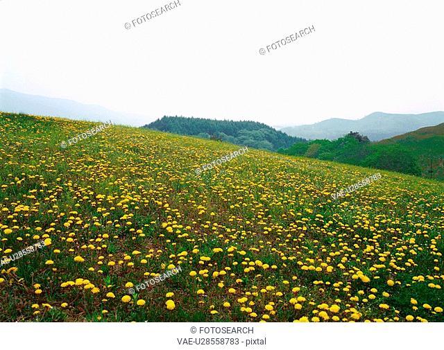 dandelion, nature, flower, plant, scenery, film