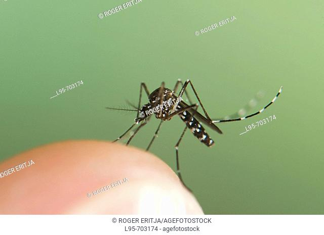 Adult female of the Asian Tiger Mosquito Aedes albopictus, biting on human