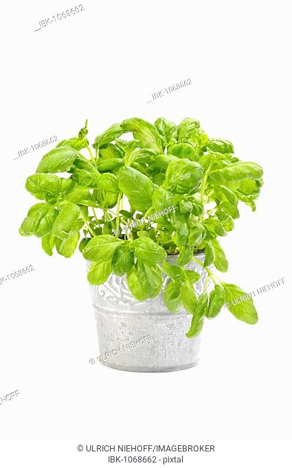 Sweet Basil (Ocimum basilicum), pot plant