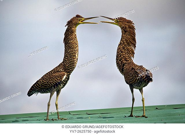 Couple of young herons tigers. Bare-throated tiger heron. Tortuguero, Costa Rica, Central America