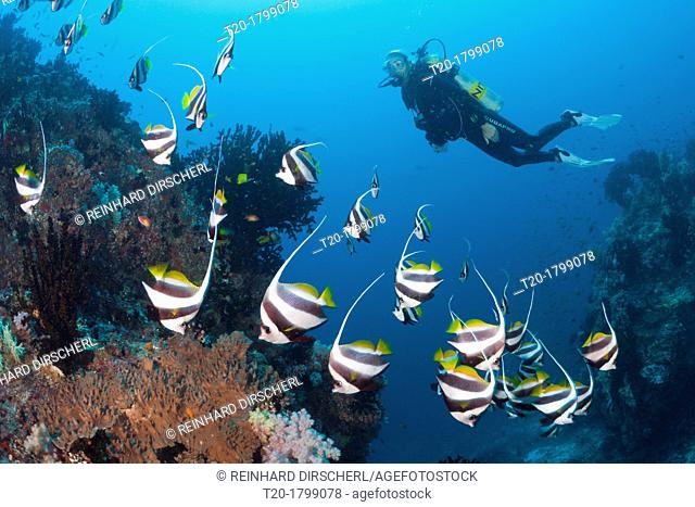 Scuba Diver and Pennant Bannerfish, Heniochus diphreutes, North Male Atoll, Indian Ocean, Maldives