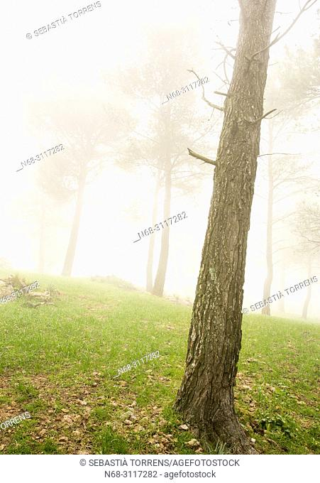 Pines in the fog, Escorca, Majorca, Balearic Islands, Spain