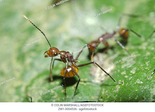 Garden Weaver Ant (Oecophylla family) in defensive position on leaf (ready to spray acid), Klungkung, Bali, Indonesia