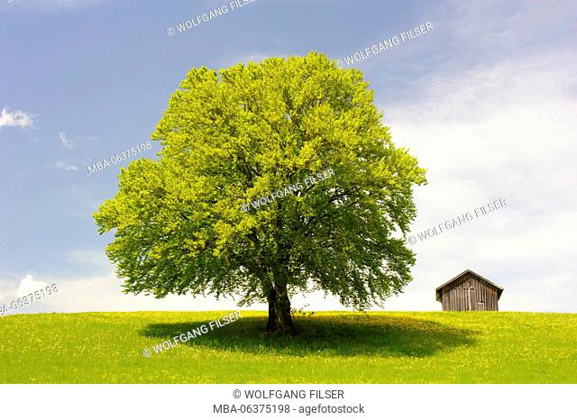 Big beech on the meadow as a single tree
