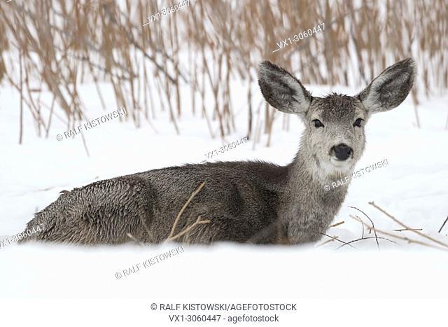 Mule deer (Odocoileus hemionus) in winter, lying, resting in snow, ruminating, watching, Wyoming, USA