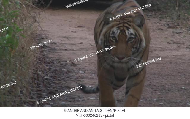 Bengal Tiger (Panthera tigris tigris) stalking straight on camera, in Ranthambhore, India