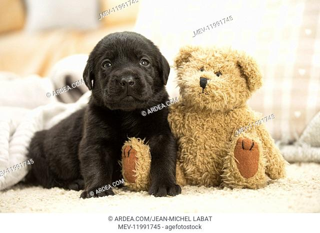 Black Labrador Dog, puppy Black Labrador Dog, puppy