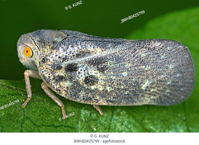 citrus flatid planthopper (Metcalfa pruinosa), sits on a leaf, Austria