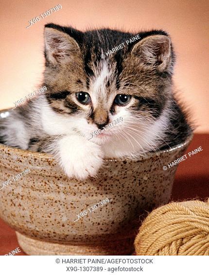 Kitten in bowl