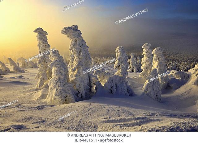 Morning atmosphere on the Brocken, winter, snow-covered pines, fog, National Park Harz, Saxony-Anhalt, Germany