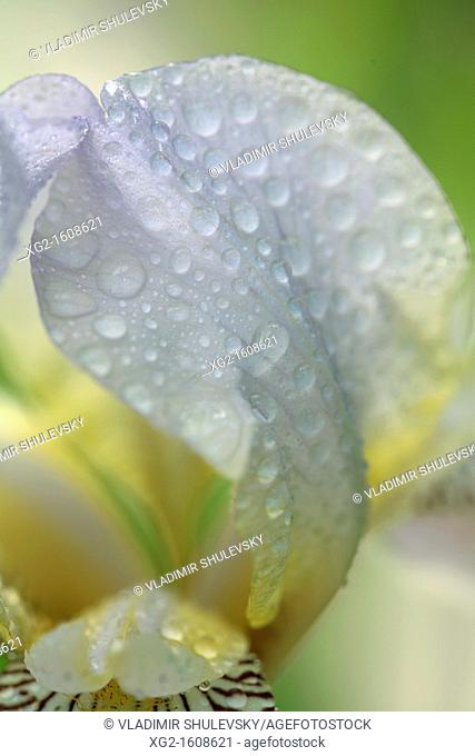 Iris flower with waterdrops, close-up