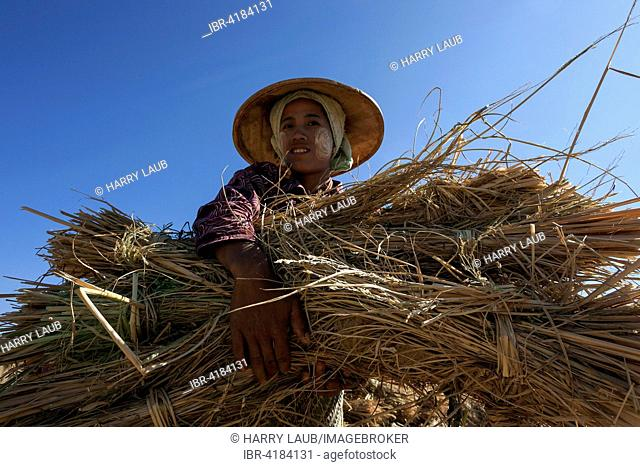 Local woman from the tribe of the Poa with a bundle of rice straw, near Heho, Shan State, Myanmar