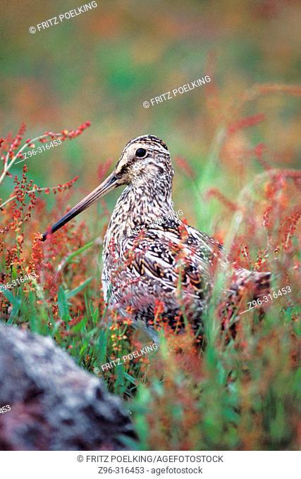 Paraguayan Snipe (Gallinago paraguaiae). Falkland Islands