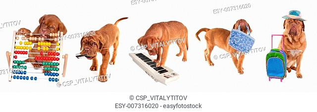 Different ages Dogue De Bordeaux Puppies in different occupations isolated on white background