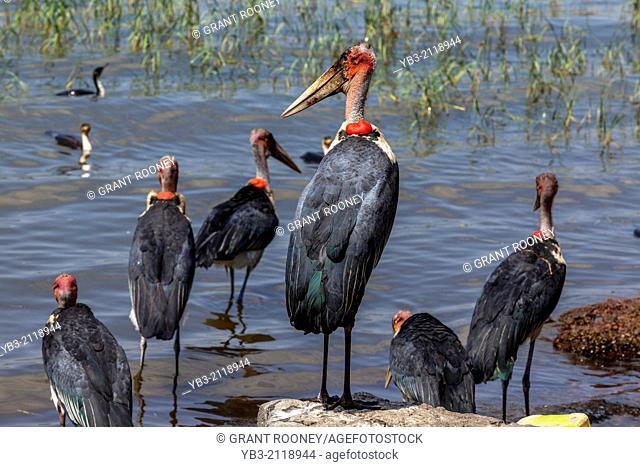 Marabou Storks, Lake Hawassa, Hawassa, Ethiopia