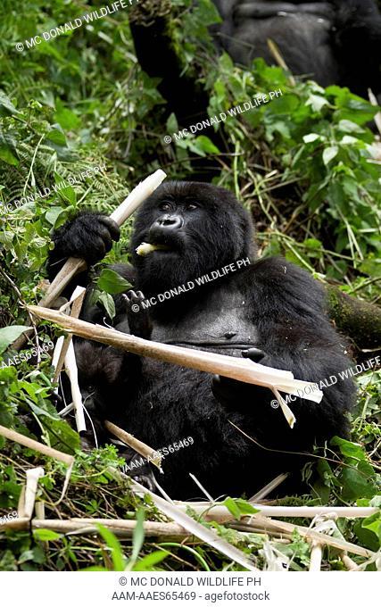 Mountain Gorillas (Gorilla beringei beringei) in the Volcanoes NP, Rwanda, Amahoro female eating bamboo