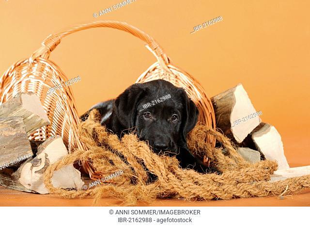 Black Labrador Retriever puppy lying next to firewood