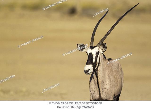 Gemsbok (Oryx gazella). Female. Kalahari Desert, Kgalagadi Transfrontier Park, South Africa
