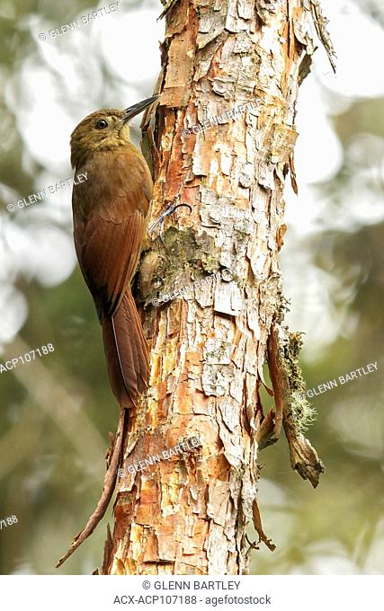 Tyrannine Woodcreeper (Dendrocincla tyrannina) perched on a branch in the mountains of Colombia, South America