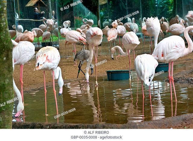 Park Aves; Flamingo; Phoenicopterus ruber; Foz do Iguaçu; Parana; PR; Brazil