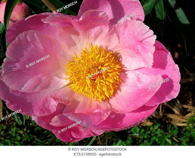 Peony, paeonia lactiflora