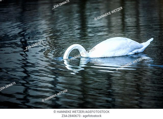Mute swan (Cygnus olor) with its head under water