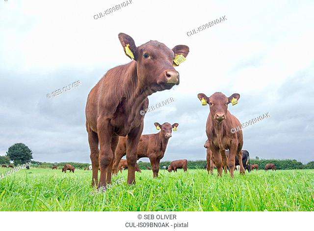 Young cows in field, low angle portrait