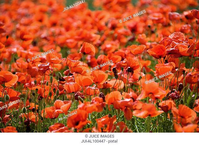 Red poppy field, near Munich, Bavaria, Germany