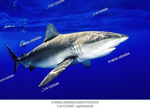 Galapagos sharks, Carcharhinus galapagensis, feeding on bait, North Shore, Oahu, Hawaii, USA, Pacific Ocean