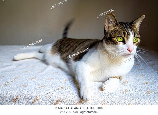 Tabby and white cat lying on a table