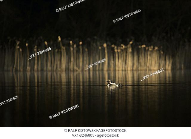 Black-throated Loon / Arctic Loon / Prachttaucher ( Gavia arctica ) swimming on a lake in Sweden in front of a little reed bed, shining spotlight, Scandinavia