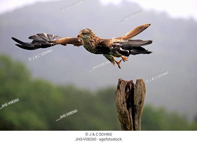 Red Kite, (Milvus milvus), adult starts flying from branch, Pelm, Eifel, Germany, Europe