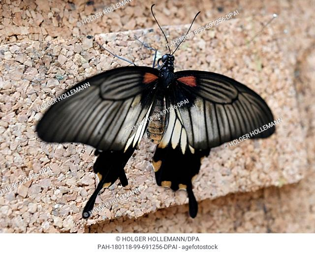 A freshly hatched Swallowtail butterfly sits on tree bark at the Tropenschauhaus of the Herrenahausen Gardens in Hanover, Germany, 16 January 2018