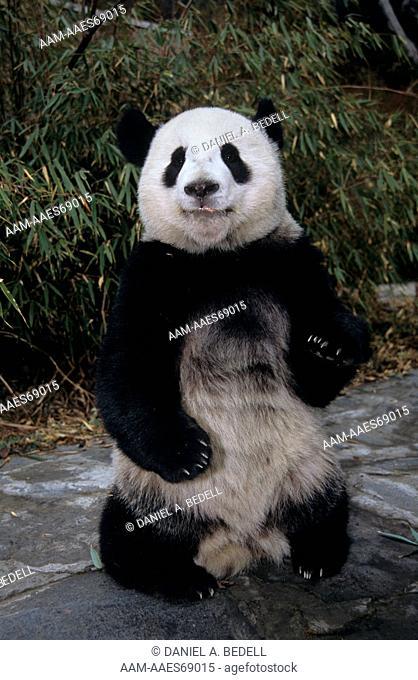 Giant Panda       (Ailuropoda melancoleuca)  Sichuan, China