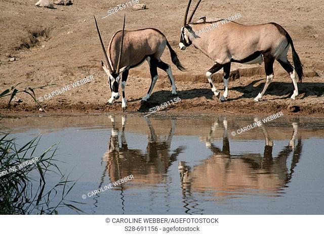 Gemsbok at waterhole, Etosha National Park. Namibia