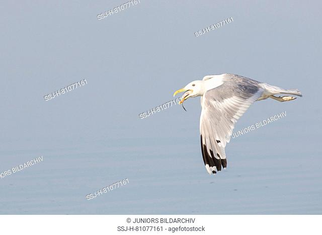 Herring Gull (Larus argentatus). Adult in flight, with fish in its bill. Germany