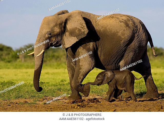 African Elephant (Loxodonta africana) with very young calf
