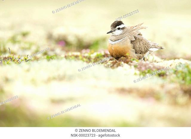 Eurasian Dotterel (Charadrius morinellus) female standing in habitat with fluffed-up feathers, Norway, Sor-Trondelag
