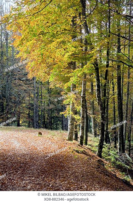 beechwood. Irati Natural Reserve, West Pyrenees county, Navarre, Spain, Europe