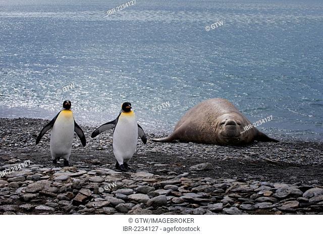 King penguins (Aptenodytes patagonicus) walking in front of a Southern Elephant Seal (Mirounga leonina) lying on the shore, Fortuna Bay, South Georgia Island