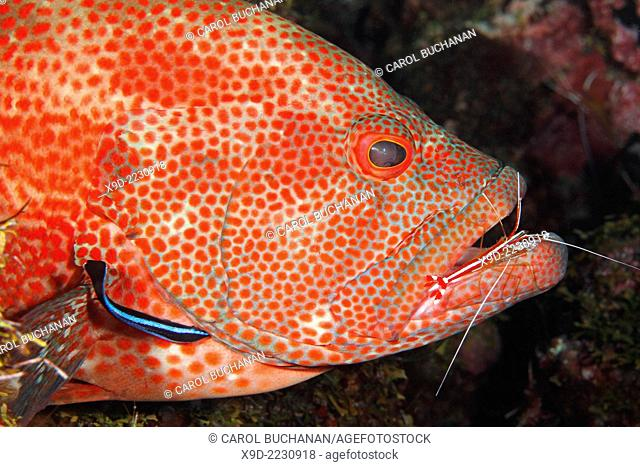 An adult Tomato Cod, or Grouper, Cephalopholis sonnerati, being cleaned by a cleaner shrimp, Lysmata amboinensis and a Blue Streak Cleaner Fish