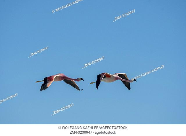 James flamingos (Phoenicoparrus jamesi), also known as the puna flamingos in flight at the Chaxa Lagoon, Soncor section of Los Flamencos National Reserve near...