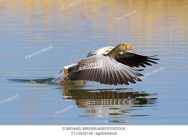 Starting Greylag goose (Anser anser), Hesse, Germany, Europe