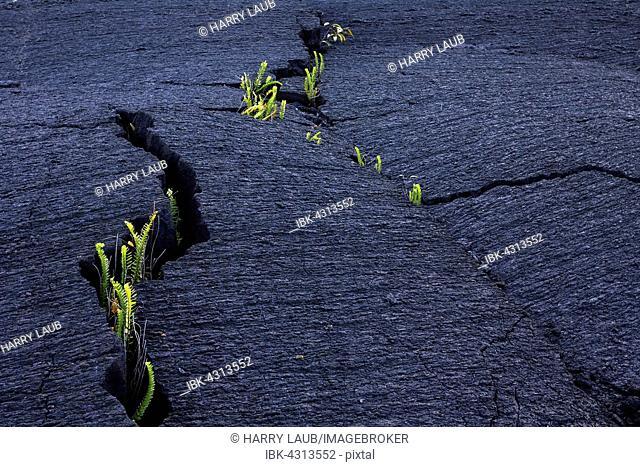 Plants, ferns growing out of cracks in lava, Pointe de la Table, Réunion, France