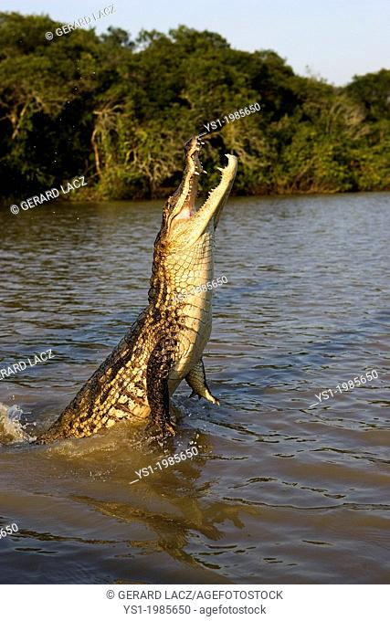 Spectacled Caiman, caiman crocodilus, Adult Jumping, Los Lianos in Venezuela