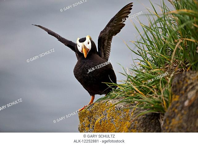 Tufted puffin (Fratercula cirrhata) standing on boulder flapping its wings, Walrus Islands State Game Sanctuary, Round Island, Bristol Bay, Southwestern Alaska